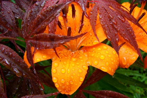 Maple_Orange_Flower_Rain
