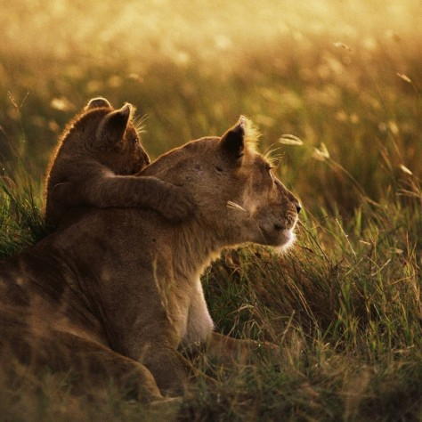 lion-grass-rest-mother-child-lioness-animals-1280x1280