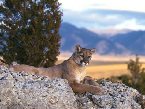 moutain_lion_mountain_hunting_big_cats_rocks_1024x768_hd-wallpaper-35973